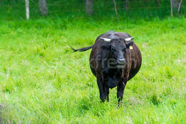 черный корова зеленый пастбище скота фермы Сток-фото © tarczas