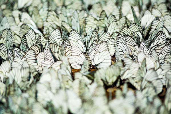 Сток-фото: сидят · белый · черный · полосатый · бабочки