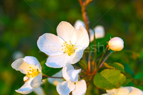 White apple blossoms with yellow stamens  Stock photo © TasiPas