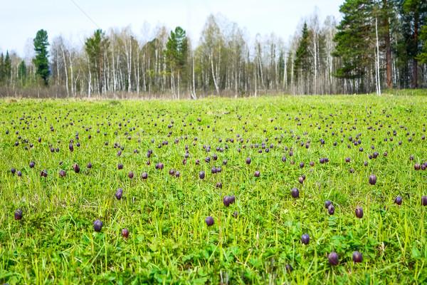 Virágzó vad virágok erdő perem kockás Stock fotó © TasiPas