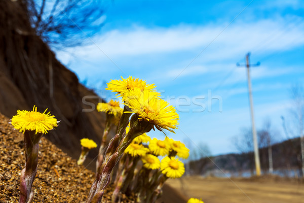 Blooming Coltsfoot flowers near road. Stock photo © TasiPas