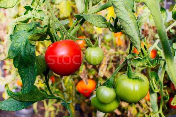 Arbusto maduro vermelho tomates crescente abrir Foto stock © TasiPas