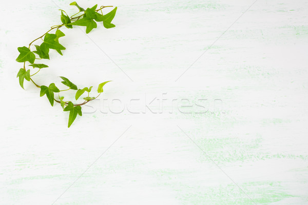 Ivy branch on light green background Stock photo © TasiPas