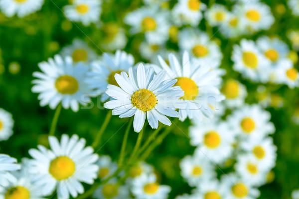 夏 草原 ヒナギク 選択フォーカス 美しい ストックフォト © TasiPas