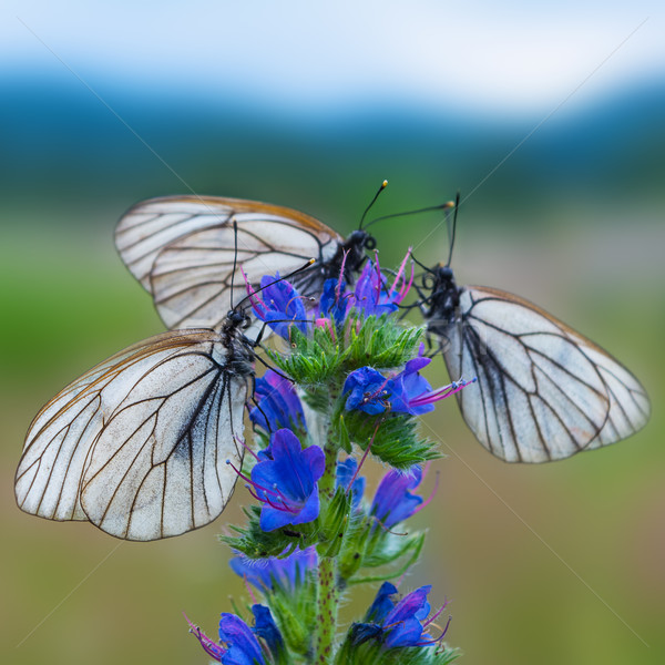 Three white and black striped butterflies on blue flower  Stock photo © TasiPas