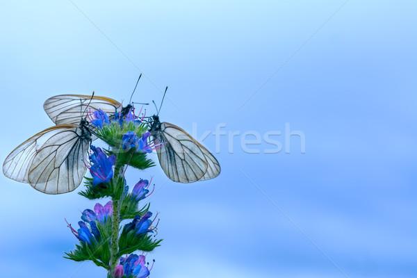 Three white butterflies on flower on blue sky background Stock photo © TasiPas