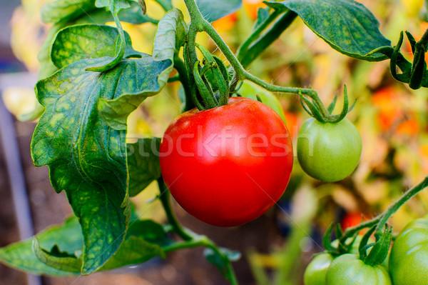 Organik domates büyüyen sebze bahçe açmak Stok fotoğraf © TasiPas
