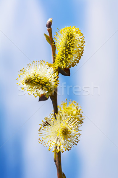 Yellow willow buds sprout  Stock photo © TasiPas