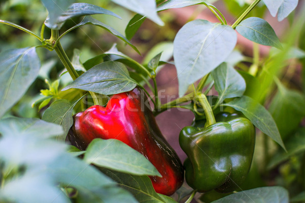 Green and red bell pepper growing in garden Stock photo © TasiPas