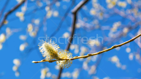 Pussy willow blooming branch. Stock photo © TasiPas