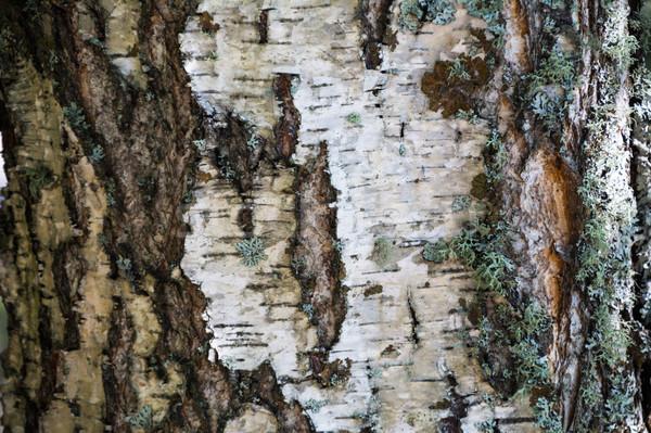 Zdjęcia stock: Biały · kory · mech · brzozowy · tekstury · drzewo