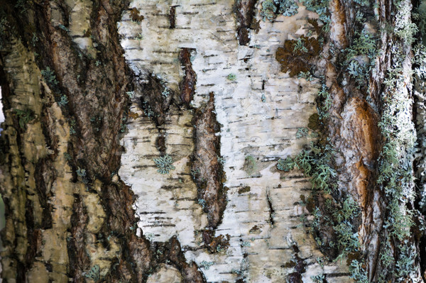 White bark and moss background  Stock photo © TasiPas