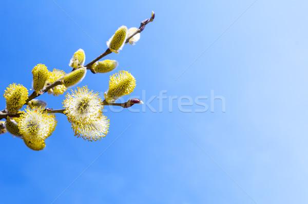 филиала ива пушистый ярко желтый копия пространства Сток-фото © TasiPas
