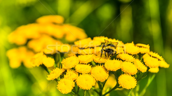 Honeybee on yellow flower in the summer meadow, selective focus Stock photo © TasiPas