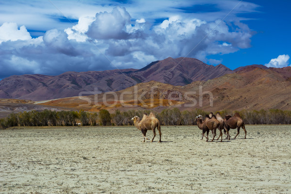 Camel herd in steppe landscape Stock photo © TasiPas