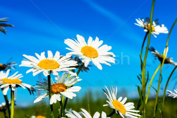白 ヒナギク 青空 美しい 風景 日光 ストックフォト © TasiPas