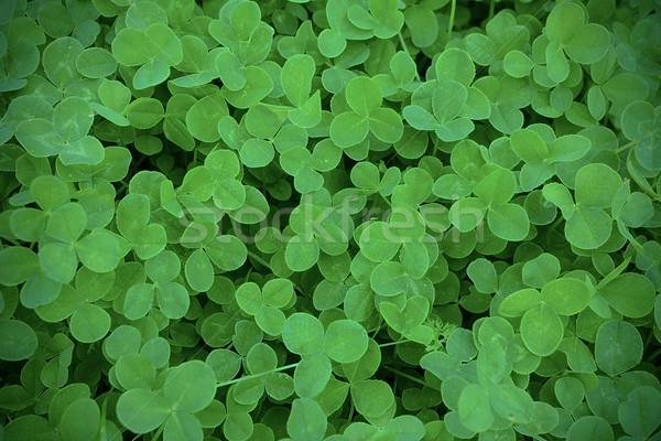 Green clover leaves in meadow defocused background Stock photo © TasiPas