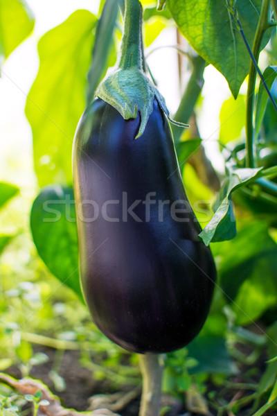 Ripe eggplant growing in garden Stock photo © TasiPas