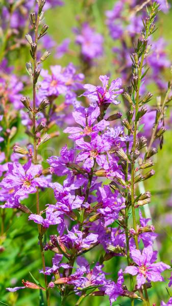 Purple flowers in the green grass Stock photo © TasiPas