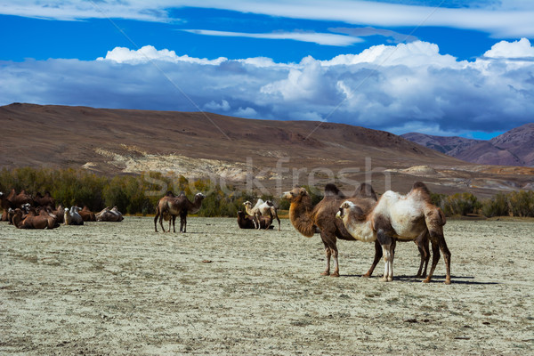 Camels in the steppe landscape  Stock photo © TasiPas