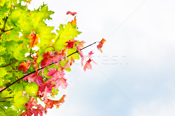 Branch with red maple leaves on autumn sky background copyspace Stock photo © TasiPas