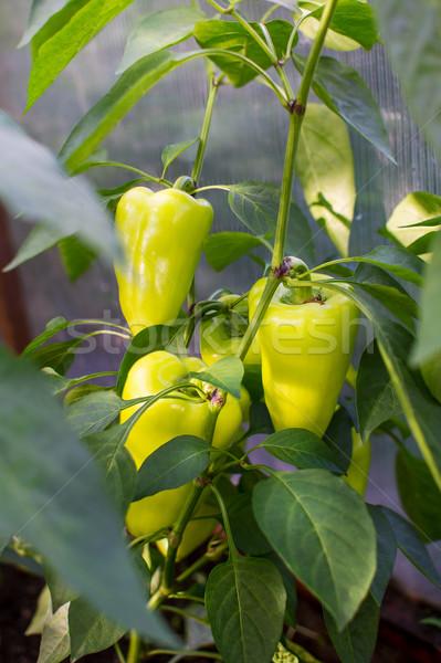 Paprika növekvő kert megművelt friss zöldségek harang Stock fotó © TasiPas