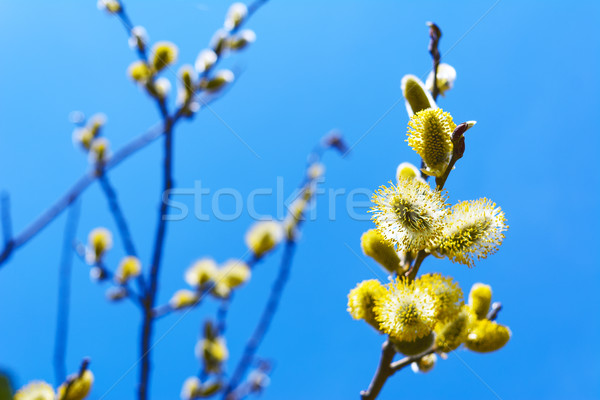 Fluffy sprig of blossomed willow  Stock photo © TasiPas