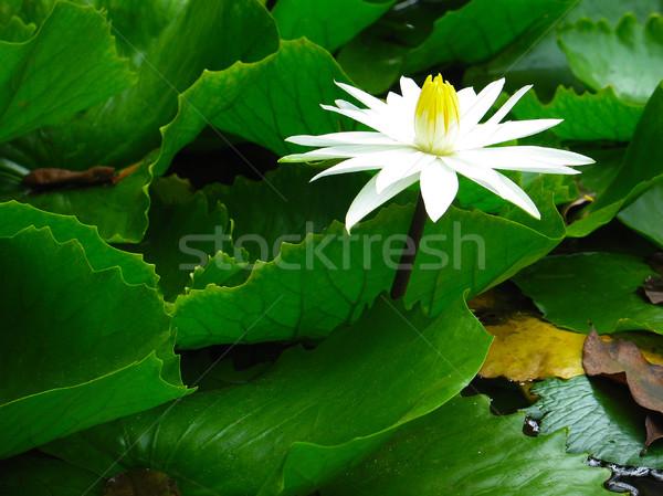 белый зеленые листья пруд воды Лилия Сток-фото © TasiPas