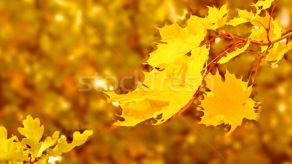 Esdoorn tak Geel bladeren vallen exemplaar ruimte Stockfoto © TasiPas