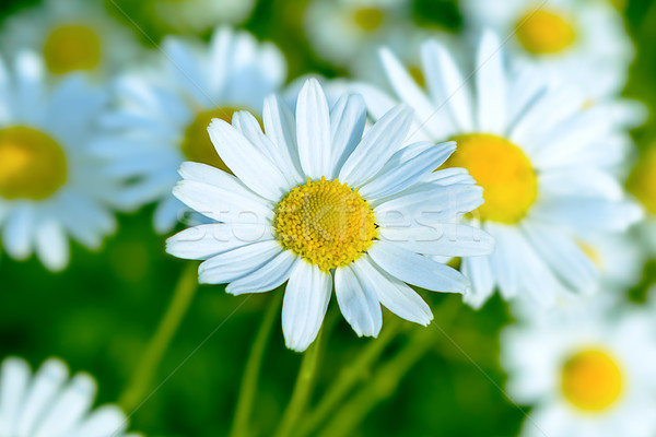 Blooming white daisy on the summer meadow background  Stock photo © TasiPas