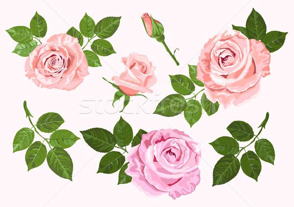 Rózsaszín bézs vektor rózsák levelek szett Stock fotó © TasiPas