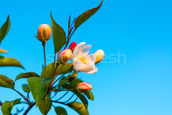 Maçã flor cremoso branco rosa blue sky Foto stock © TasiPas