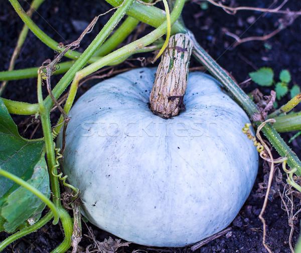 Branco abóbora crescente jardim cultivado legumes frescos Foto stock © TasiPas