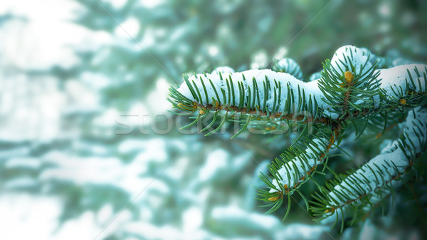 Stock photo: Snow-covered fir branch in winter forest