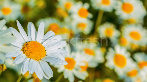 Blooming daisies in the summer meadow selective focus Stock photo © TasiPas