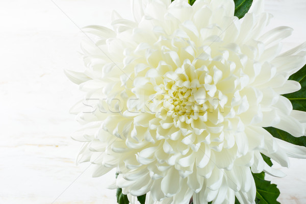 Fehér krizantém tavasz nyár friss virágok Stock fotó © TasiPas