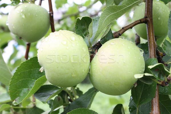 Almák ág eső cseppek étel alma Stock fotó © tatiana3337