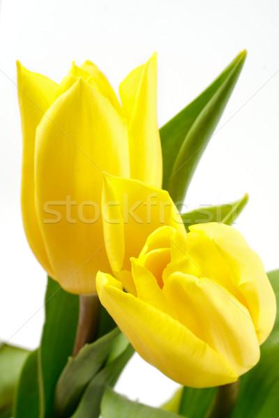 Sarı lâle taze lale beyaz bahar Stok fotoğraf © Tatik22