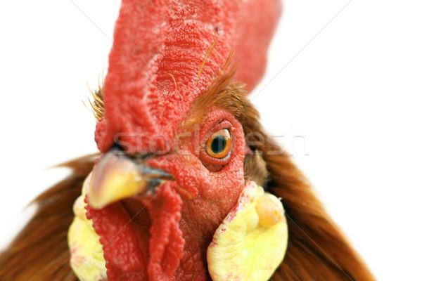 Gallo ritratto dettaglio occhi colorato grande Foto d'archivio © taviphoto
