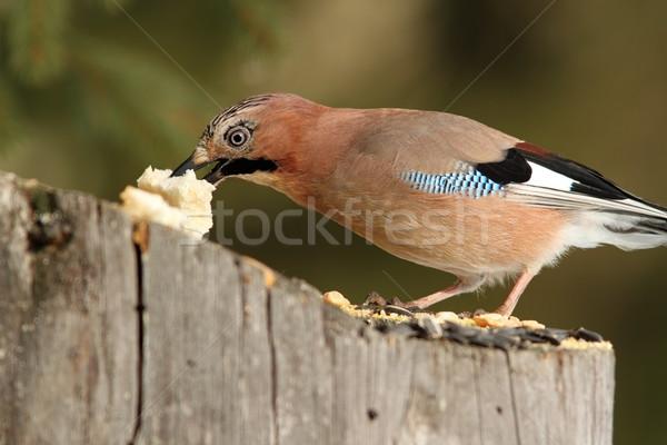 european jay grabbing a piece of bread Stock photo © taviphoto