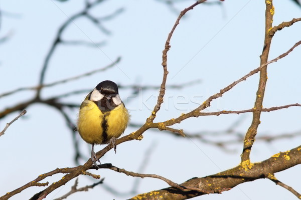 Stock photo: colorful great tit on twig