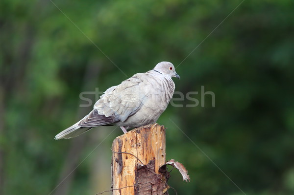 Duif permanente tuin vogel veer dier Stockfoto © taviphoto