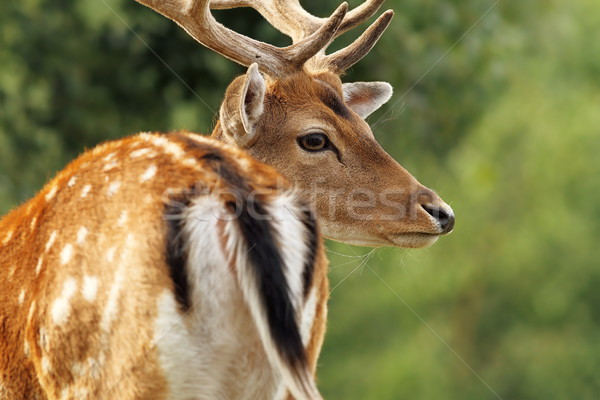 fallow deer stag close up Stock photo © taviphoto