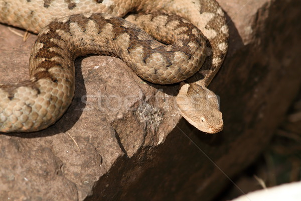 Peligroso venenoso europeo serpiente nariz femenino Foto stock © taviphoto
