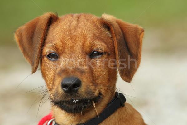 portrait of a vizsla puppy Stock photo © taviphoto