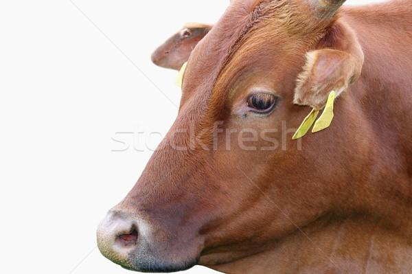 zebu portrait over white Stock photo © taviphoto