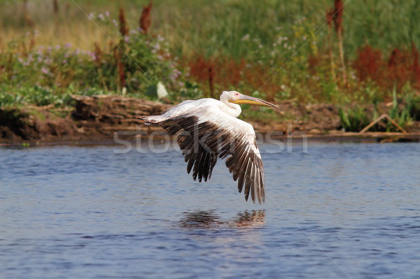great pelican flying over marshes Stock photo © taviphoto