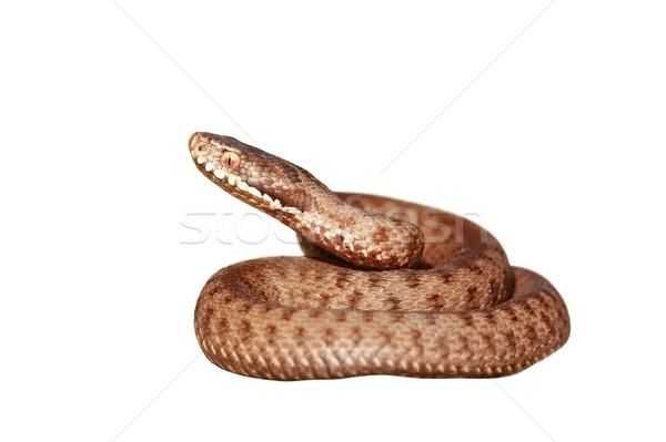 Photo stock: Isolé · venimeux · serpent · blanche · européenne