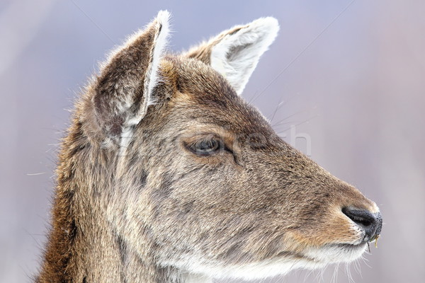 deer calf close up portrait Stock photo © taviphoto