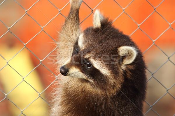 Raton laveur portrait escalade cage fils visage Photo stock © taviphoto